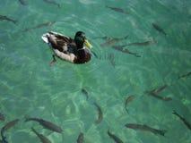 低头用浆划在普利特维采湖群国家公园,克罗地亚清楚的水  免版税库存照片