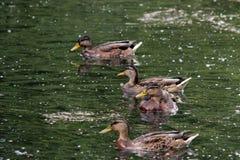 低头语录platyrhynchos,哺养漂浮在白色湖Gatchina公园的面包 库存照片