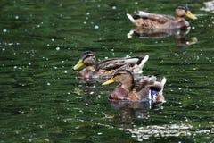 低头语录platyrhynchos,哺养漂浮在白色湖Gatchina公园的面包 图库摄影