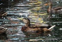 低头语录platyrhynchos,哺养漂浮在白色湖Gatchina公园的面包 免版税库存照片