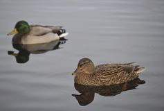 低头野鸭对 免版税库存图片