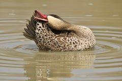 低头,红开帐单的小野鸭-从非洲的狂放的猎鸟背景 库存图片