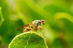 低perpective在绿色的飞行- Scathophaga sp 免版税图库摄影