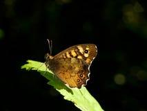 围住取暖在太阳的Lasiommata megera的布朗蝴蝶 免版税库存照片