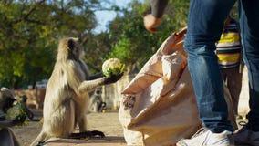 住在城市的叶猴 这里人民同叶猴联系在一起印度神阁下哈奴曼并且尊敬他们,乔德普尔城,印度 库存照片