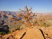 住在大峡谷的树 库存图片