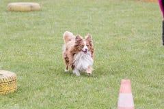 住在比利时的大陆玩具西班牙猎狗狗 库存照片