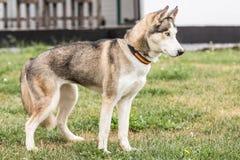 住在比利时的西伯利亚hysky狗 免版税库存照片