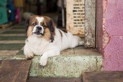 住在越南的狗 免版税库存照片