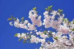 佐仓开花的春天明亮和温暖的天在斯德哥尔摩 免版税库存照片