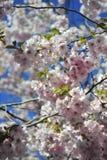 佐仓开花的春天明亮和温暖的天在斯德哥尔摩 库存照片