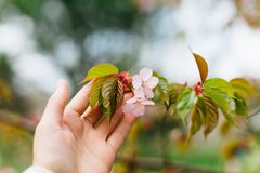 佐仓或樱桃在手中开花与叶子在模糊的佐仓树背景 库存图片