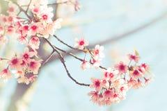 佐仓或樱花在葡萄酒样式背景中 免版税库存图片