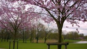 佐仓树在池塘附近的公园 影视素材