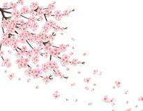 佐仓 与桃红色花的一个豪华的樱桃分支在风丢失瓣 查出在一个桃红色背景 例证 库存照片