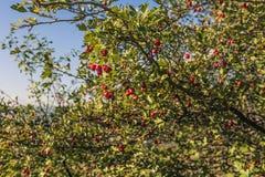 佐治亚 山茱萸莓果 库存照片