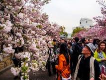 佐仓开花在大阪,日本1 免版税图库摄影