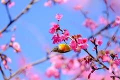 佐仓日语或樱花和鸟在土井Ang Khang Nati 库存照片