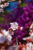 佐仓树或樱花 库存图片