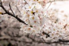 佐仓樱桃开花开花关闭日本's花 免版税图库摄影