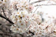 佐仓樱桃开花开花关闭日本美好的流程 免版税库存照片