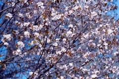 佐仓 樱花春天 空白美丽的花 库存图片