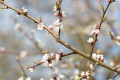佐仓 樱花春天 空白美丽的花 图库摄影