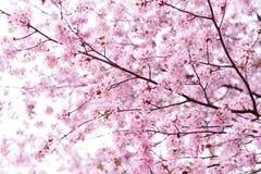佐仓 樱花春天 美丽的桃红色花 图库摄影