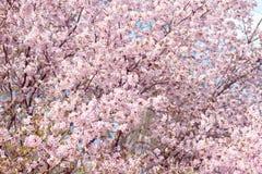 佐仓 樱花春天 美丽的桃红色花 免版税库存照片