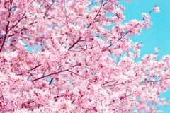 佐仓 樱花春天 美丽的桃红色花 免版税库存图片