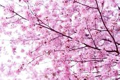 佐仓 樱花春天 美丽的桃红色花 库存照片