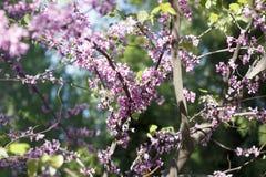 佐仓的花在春日特写镜头开花 图库摄影