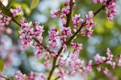 佐仓的花在春日特写镜头开花 库存图片