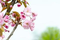 佐仓 美丽的樱花 免版税库存图片