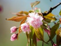 佐仓花在春天的樱花 桃红色花 被定调子的软性 库存图片