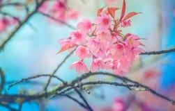 佐仓花或樱花有美好的自然背景狂放的喜马拉雅樱桃花的与过滤器作用甜处理猪圈 库存照片