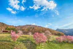 佐仓,在春天树的樱花在蓝天 库存照片