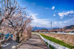 佐仓,在春天树的樱花在蓝天 免版税库存照片