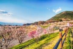 佐仓,在春天树的樱花在蓝天 免版税库存图片