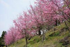 佐仓cherry_blossom树花 免版税库存照片