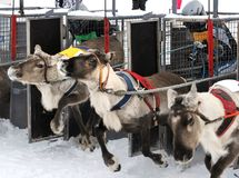 体育赛跑的活动在拉普兰鹿连续竞争同盟 免版税库存照片