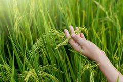 体贴接触在稻田的妇女手年轻米 免版税库存图片