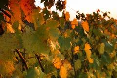 佛罗伦萨小山的葡萄园在秋天日落期间的托斯卡纳 库存照片