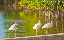 佛罗里达三只一点白色朱鹭鸟  图库摄影