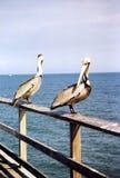佛罗里达两鹈鹕1999年 免版税库存图片