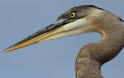 佛罗里达伟大蓝色的苍鹭的巢画象 库存图片