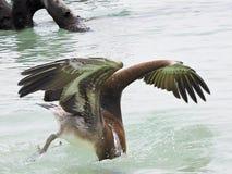 佛罗里达关键字 巴伊亚本田,抓鱼的鹈鹕潜水的国家公园 库存照片