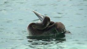 佛罗里达关键字 巴伊亚本田,鹈鹕浮动洗涤的国家公园它的全身羽毛通过浸没头和翼和关上他们 股票录像