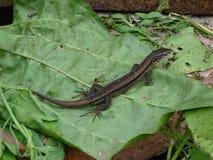 佛罗里达叶子被采取的蜥蜴南部 免版税库存照片