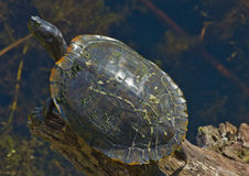 佛罗里达在日志的黑鸭乌龟 库存照片